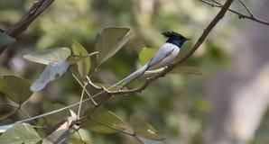 Flycatcher asiatico di paradiso Fotografie Stock