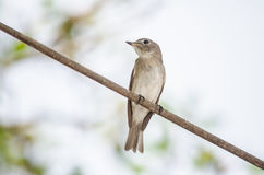 FLYCATCHER asiatique de Brown Photo stock
