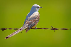 Flycatcher on Barbed Wire Royalty Free Stock Photos