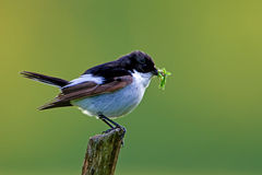 The Flycatcher Royalty Free Stock Image