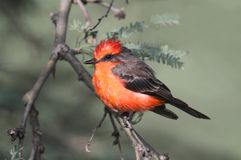 Flycatcher bermellón (rubinus del Pyrocephalus) Fotos de archivo libres de regalías