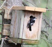 Flycatcher beside birdhouse nr2 Stock Photo
