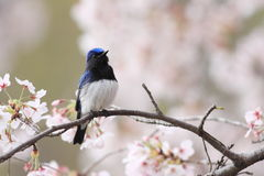 FLYCATCHER blanc bleu Images libres de droits