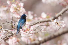 FLYCATCHER blanc bleu Images stock