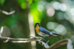 FLYCATCHER bleu de colline sur une branche Photos stock