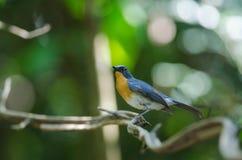FLYCATCHER bleu de colline sur une branche Photo libre de droits