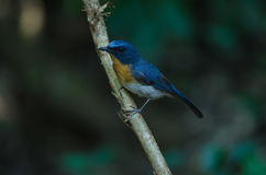FLYCATCHER bleu de colline sur une branche Photo stock