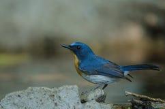 FLYCATCHER bleu de colline sur une branche Images stock