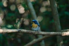 FLYCATCHER bleu de colline sur une branche Photographie stock