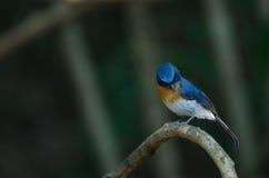 FLYCATCHER bleu de colline sur une branche Images libres de droits