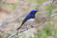 FLYCATCHER bleu et blanc sur la branche d'arbre Image libre de droits