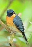 Flycatcher blu del Tickell fotografia stock libera da diritti