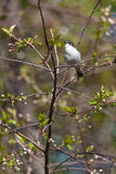 Flycatcher on branches of a tree Stock Image