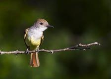 flycatcher Brown-con cresta 2 imagen de archivo