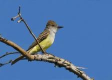 flycatcher Brown-con cresta fotos de archivo libres de regalías