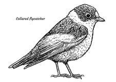 FLYCATCHER colleté, illustration d'albicollis de Ficedula, dessin, gravure, encre, schéma, vecteur illustration stock