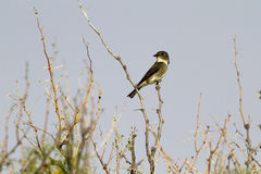 flycatcher cooperi contopus που πλαισιώνεται ε στοκ εικόνες