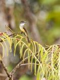 Flycatcher Cortocircuito-con cresta bajo la lluvia fotos de archivo libres de regalías