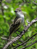 FLYCATCHER couvert sombre Photo stock