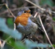 FLYCATCHER de famille d'oiseau de Robin Photos stock
