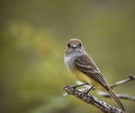 FLYCATCHER de Galapagos Images stock