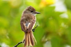 FLYCATCHER de Galapagos sur Santiago Island, parc national de Galapagos Photos libres de droits