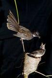 Flycatcher de la cola de milano Imagen de archivo libre de regalías