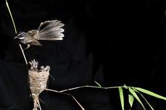 Flycatcher de la cola de milano Fotos de archivo