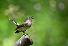 Flycatcher de peito encarnado Imagens de Stock Royalty Free