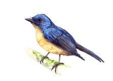 Flycatcher del azul de la colina Fotografía de archivo