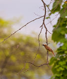 Flycatcher del Baird con il Web del ragno immagine stock