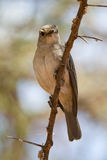 Flycatcher di Grey africano Immagini Stock Libere da Diritti