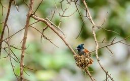 FLYCATCHER et nid indiens de paradis photo libre de droits