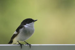 Flycatcher Royalty Free Stock Image