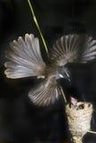 flycatcher fantail Стоковое Изображение RF