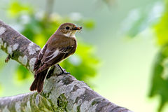 Flycatcher, female Royalty Free Stock Photography