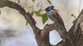 FLYCATCHER femelle de Paradise d'Africain sur la branche d'arbre images stock