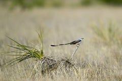 flycatcher forficatus nożycowy ogoniasty tyrannus zdjęcie royalty free
