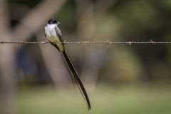 Flycatcher Fork-atado Fotografía de archivo libre de regalías