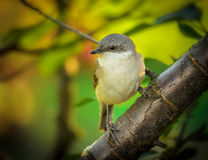 Flycatcher in the garden Royalty Free Stock Image