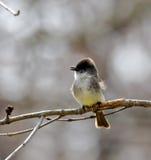 Flycatcher Grande-con cresta Imagen de archivo libre de regalías