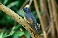 FLYCATCHER mâle de bleu de côte Image stock