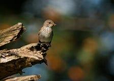 Flycatcher macchiato (striata del Muscicapa) Immagine Stock
