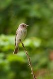 Flycatcher macchiato (striata del Muscicapa) Immagini Stock