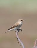 Flycatcher manchado (striata del muscicapa) Imágenes de archivo libres de regalías