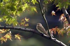 Flycatcher on maple Royalty Free Stock Photo