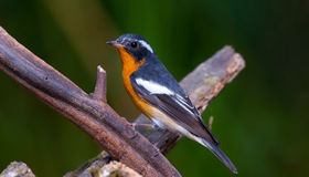 flycatcher mugimaki στοκ εικόνες με δικαίωμα ελεύθερης χρήσης