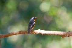 flycatcher mugimaki στοκ εικόνες