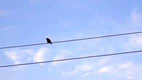 Flycatcher Muscicapa πουλιά striata στη θέση με τα ηλεκτρικά καλώδια Στοκ Φωτογραφίες