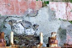 Flycatcher Muscicapa striata Zdjęcia Stock